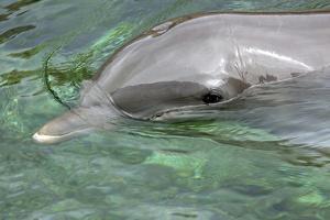 Mexico, Caribbean. Common Bottlenose Dolphin Portrait by David Slater