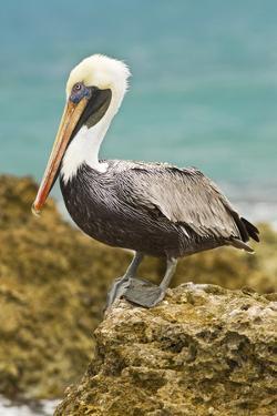 Mexico, Caribbean. Pelecanus Occidentalis, Male Brown Pelican by David Slater