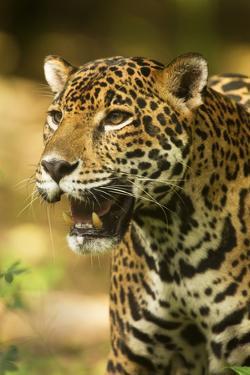 Mexico, Panthera Onca, Jaguar Portrait by David Slater