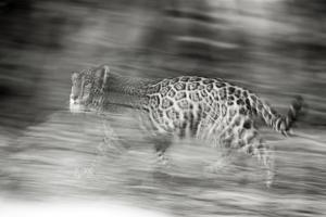 Mexico, Panthera Onca, Jaguar Running Through Forest by David Slater