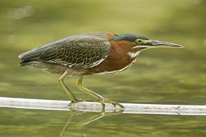 Mexico, Young Non-Breeding Adult Hunting for Fish in Forest Stream by David Slater