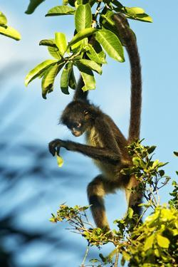 Mexico, Yucatan. Spider Monkey, Adult in Tree Curious About a Leaf by David Slater