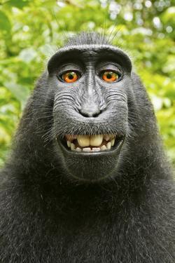 Monkey Selfie by David Slater