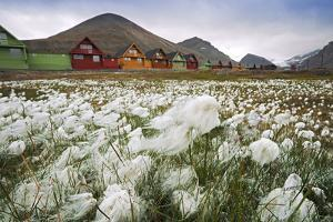 Norway, Svalbard, Longyearbyen. Arctic Cottongrass in Front of Traditional Houses by David Slater