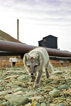 Norway, Svalbard, Longyearbyen. Vulpes Lagopus, Arctic Fox in an Industrial Area of Town by David Slater