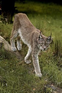 Scandinavia, Finland. Lynx Lynx, European Lynx Walking in Forest by David Slater