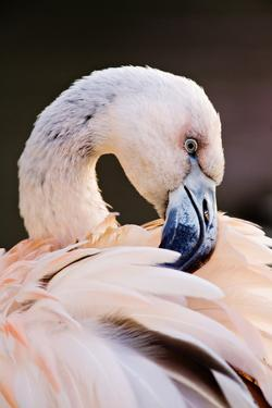 South America. Phoenicopterus Chilensis, Immature Chilean Flamingo Portrait by David Slater