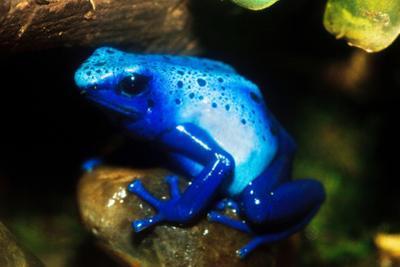 South America, Surinam. Dendrobates Azureus, Blue Poison Arrow Frog on Rainforest Floor by David Slater