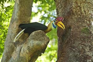 Sulawesi Knobbed Hornbill Male Adult at Nest Hole About to Pass Fig to Female Inside, Indonesia by David Slater
