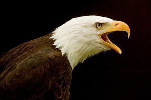 USA, Alaska. Haliaeetus leucocephalus, bald eagle portrait, captive. by David Slater