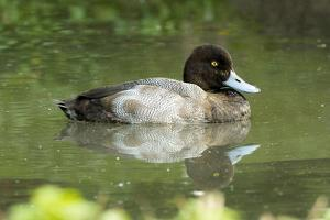 Usa. Lesser Scaup, Aythya Affinis by David Slater