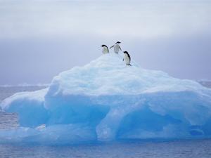 Adelie Penguins on Iceberg, Paulet Island, Antarctica, Polar Regions by David Tipling