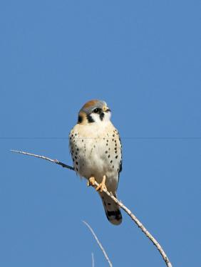 American Kestrel (Falco sparverius) adult male, perched on twig, New Mexico by David Tipling