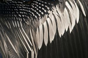 Anhinga (Anhinga anhinga) adult male, close-up of wing feathers, Anhinga Trail, Everglades by David Tipling
