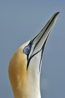 Australasian Gannet by David Tipling
