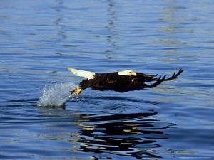 Bald Eagle, Feb, USA by David Tipling