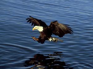 Bald Eagle, Hunting, USA by David Tipling