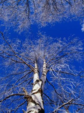 Birch Trees Covered in Frost, Finland by David Tipling