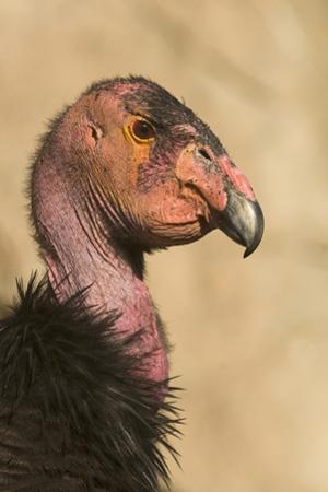California Condor (Gymnogyps californianus) adult, close-up of head, Arizona, USA by David Tipling