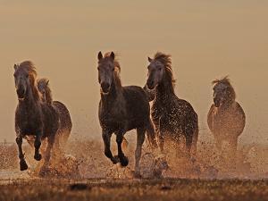 Camargue Horses Running through Water at Dusk by David Tipling