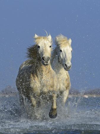 Camargue Horses by David Tipling