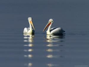 Dalmatian Pelicans, Adults, Greece by David Tipling