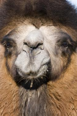 Domesticated Bactrian Camel (Camelus bactrianus) breeding male, Khongoryn Els Sand Dunes by David Tipling