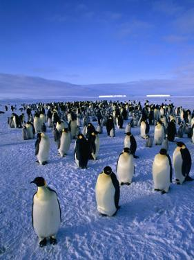 Emperor Penguin (Aptenodytes Forsteri) Colony at Dawson-Lambton Glacier, Weddell Sea, Antarctica by David Tipling