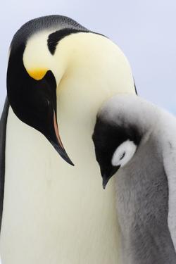 Emperor Penguin(Aptenodytes Forsteri) Looking at Chick by David Tipling