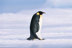 Emperor Penguin (Aptenodytes Forsteri) by David Tipling