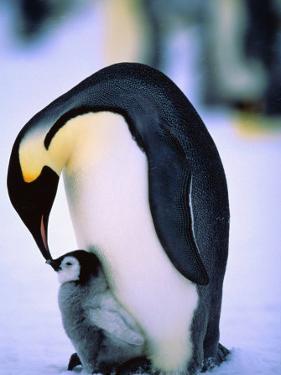 Emperor Penguin with Chick at Dawson-Lambton Glacier, Weddell Sea, Antarctica by David Tipling