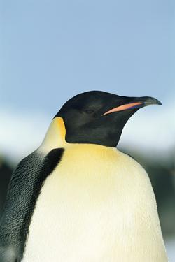 Emperor Penguin by David Tipling