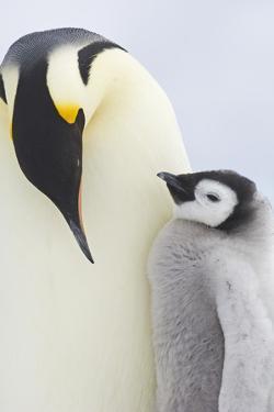 Emperor Penguins in Antacrtica by David Tipling