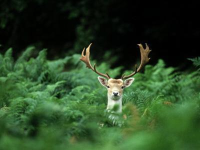 Fallow Deer, Buck, UK by David Tipling