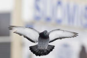 Feral Pigeon (Columba Livia) Flying, London, March by David Tipling