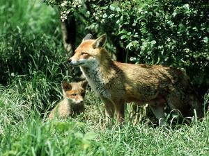 Fox, Vixen with Cub, Surrey by David Tipling