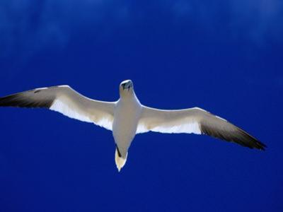 Gannet (Sula Bassana) Flying, Ireland by David Tipling