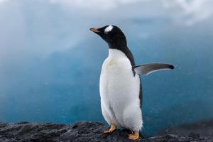 Gentoo Penguin in Antarctica by David Tipling