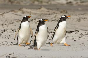 Gentoo Penguin (Pygoscelis papua) three adults, walking on sandy beach, Falkland Islands by David Tipling