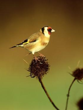 Goldfinch on Teasel, UK by David Tipling