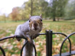 Grey Squirrel, St. James Park, London by David Tipling