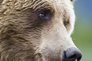 Grizzly Bear (Ursus arctos horribilis) adult, close-up of face, Katmai , Alaska by David Tipling