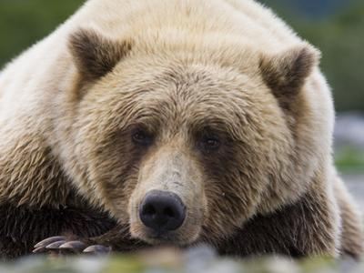 Grizzly Bear (Ursus arctos horribilis) adult, close-up of head, resting, Katmai by David Tipling