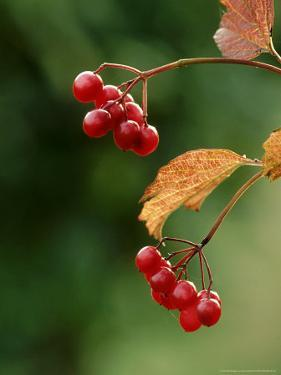 Guelder Rose, Berries, Kent by David Tipling