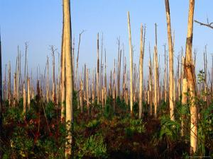 Hurricane Damage to Forest, Everglades National Park, USA by David Tipling