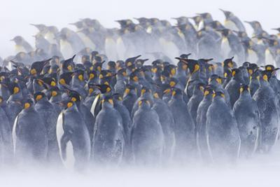 King Penguin (Aptenodytes patagonicus) colony, huddled together during snowstorm, South Georgia by David Tipling