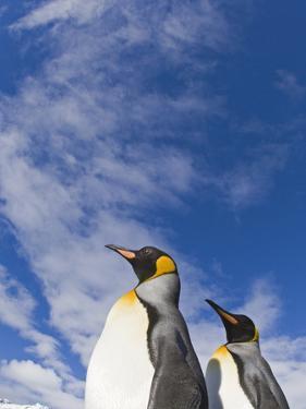 King Penguin by David Tipling
