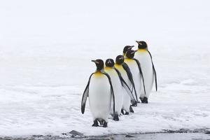 King Penguins by David Tipling