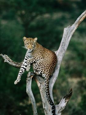 Leopard (Panthera Pardus) in Tree, Looking at Camera, Samburu National Reserve, Kenya by David Tipling