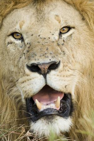 Lion (Panthera leo) adult male, close-up of head, with flies on face, Masai Mara by David Tipling